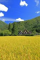 岐阜県 白川郷の合掌造りと稲