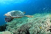 サンゴ礁を泳ぐタイマイ