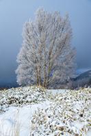 長野県 冬の美ヶ原 思い出の丘のダケカンバ