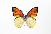 蝶 標本 ヒイロツバベニチョウ インドネシア オレンジ
