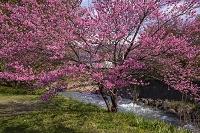 長野県 大出公園 桃の花と姫川
