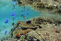 沖縄県 池間島 珊瑚とクマノミとルリスズメ