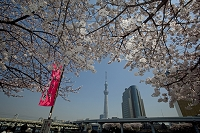 東京都 隅田公園の桜と東京スカイツリー