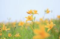 長野県 霧ヶ峰高原 ニッコウキスゲの花