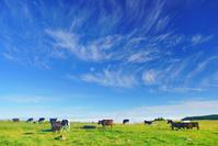 長野県 上田市 美ヶ原牧場のホルスタイン 青空