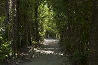 沖縄県 本部町 備瀬のフクギ並木