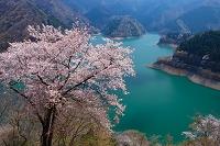 東京都 桜と奥多摩湖