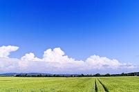 北海道 石狩平野の小麦畑と夏雲