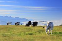 長野県 小県郡 美ヶ原牧場のホルスタイン