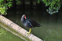 大阪府 バン(成鳥)