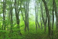 秋田県 鳥海山麓 霧のブナ林