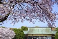 東京都 小金井公園の桜