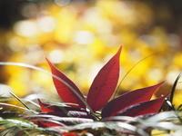 東京 小石川後楽園 紅葉