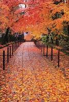 京都府 光明寺 雨に濡れる敷き紅葉の参道と薬医門