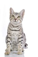 ベンガル ベンガル猫