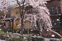 京都府 祇園白川沿いの枝垂れ桜とかにかくにの碑
