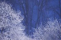 北海道 ダイヤモンドダストと樹氷の木