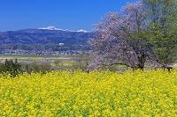 長野県 菜の花と千曲川と妙高山(越後富士) 菜の花公園