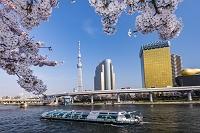 東京都 桜咲く隅田公園と東京スカイツリー
