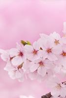 愛知県 桜の花
