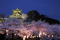 福井県 丸岡城の桜