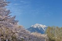 山梨県 蕪の桜と甲斐駒ヶ岳