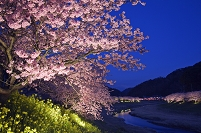静岡県 青野川堤に咲くナノハナとみなみの桜のライトアップ (...
