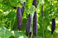 アレキサンダ―豆の露地栽培