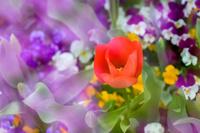 紫色の中の赤いチューリップ