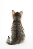ミックス 後ろを向いて座っている子猫