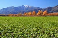 北海道 秋のビート畑