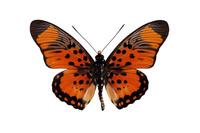 蝶 標本 マルバネタテハ マル島