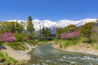 長野県 大出公園のハナモモと白馬三山