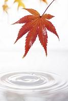 モミジの葉と水面の波紋
