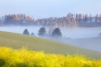 北海道 アスパラの黄葉と朝霧 美瑛