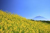 静岡県 朝霧高原から見る残雪の富士山とキガラシの花畑
