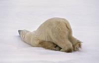 カナダ チャーチル 氷に体を擦りつけるホッキョクグマ