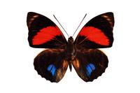 蝶 標本 アミドンアグリアスタテハ ブラジル