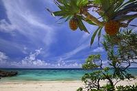 沖縄県 宮古島の海岸 アダンの木