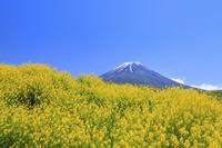 山梨県 残雪の富士山とハルザキヤマガラシの花畑