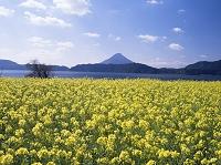 鹿児島県 ナノハナ咲く池田湖湖畔から開聞岳(薩摩富士)