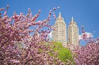 アメリカ合衆国 セントラルパーク  桜