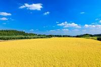 実り・黄金色に輝く水田