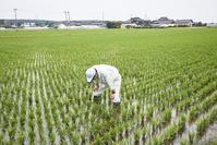庄内平野の米づくり - 青田指導