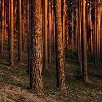 スウェーデン 松の木林