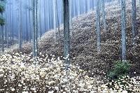 愛知県 ミツマタの林