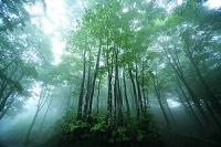 新潟県 霧のブナ林