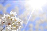 桜の花と太陽の光