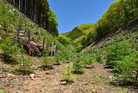 山梨県 笹子峠 カラマツの植林