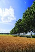 北海道 麦畑 白樺並木 農業用防風林
